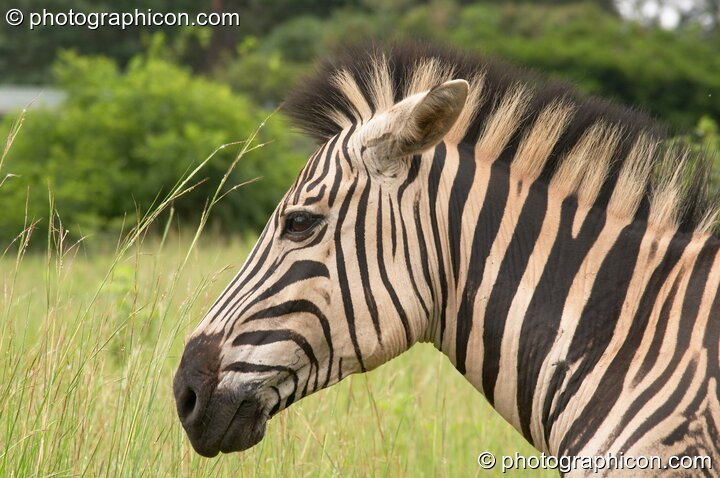 Side profile of a Zebra in Umgeni Valley Nature Reserve - KwaZulu-Natal, South Africa. Howick. © 2005 Photographicon