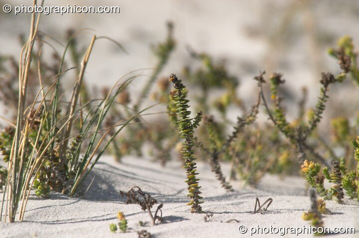 Plants growing in the sand at False Bay, Cape Town - Western Cape, South Africa. © 2005 Photographicon